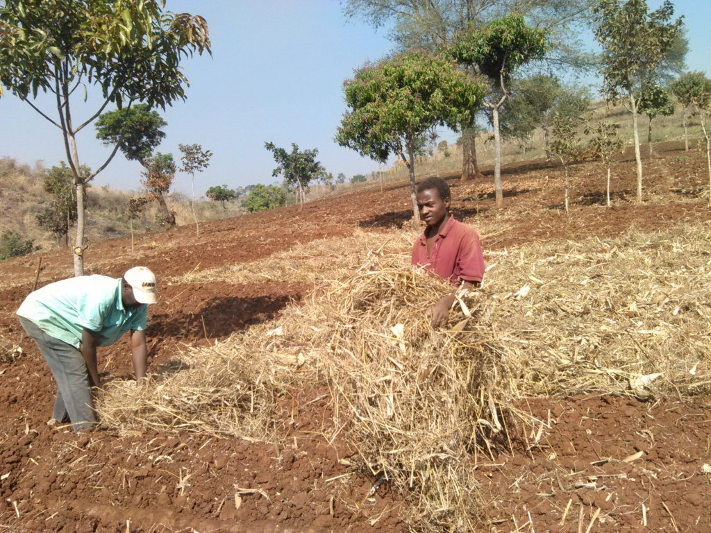 Putting grasses and bushes in between the ridges to absorb rain water and keep the ridges moist for longer