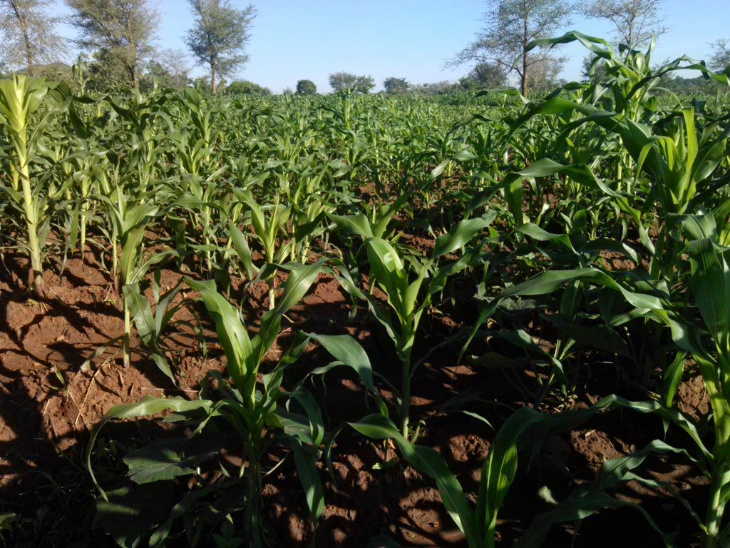 Maize not in S4Life project planted at the same time